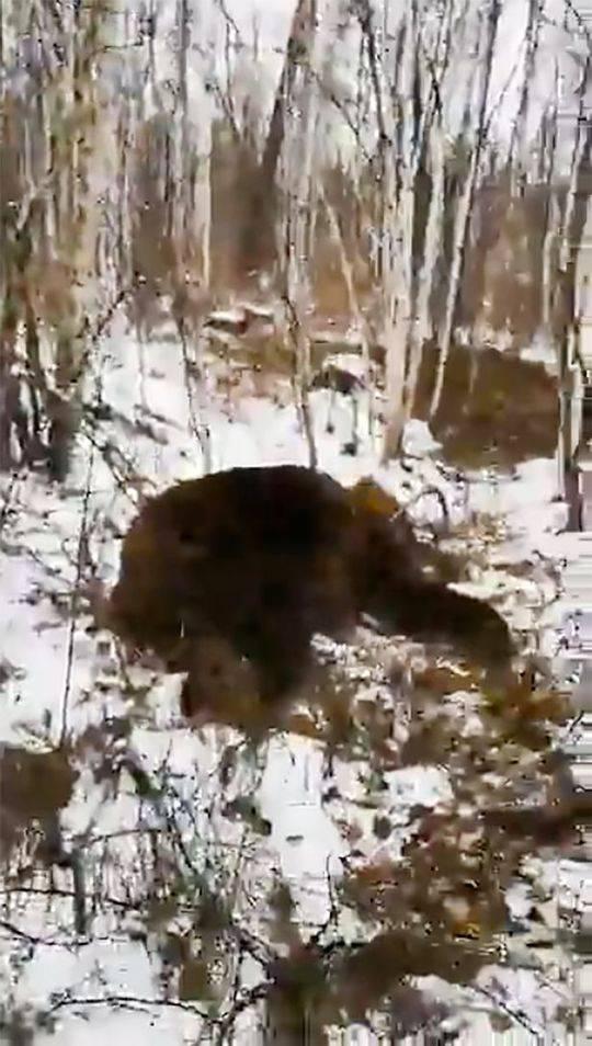 向两名少年发起攻击的熊