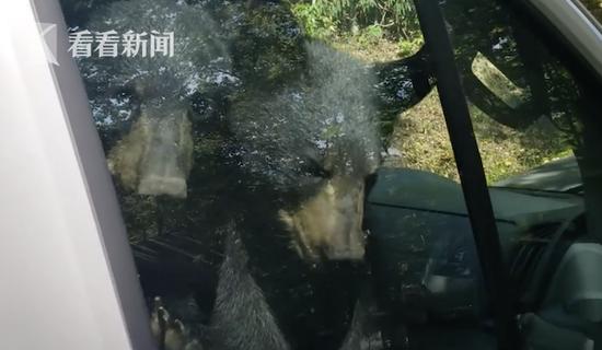 两只小熊溜进车子被反锁 按起车