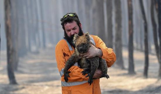 一直考拉在大火中严重受伤(BBC)