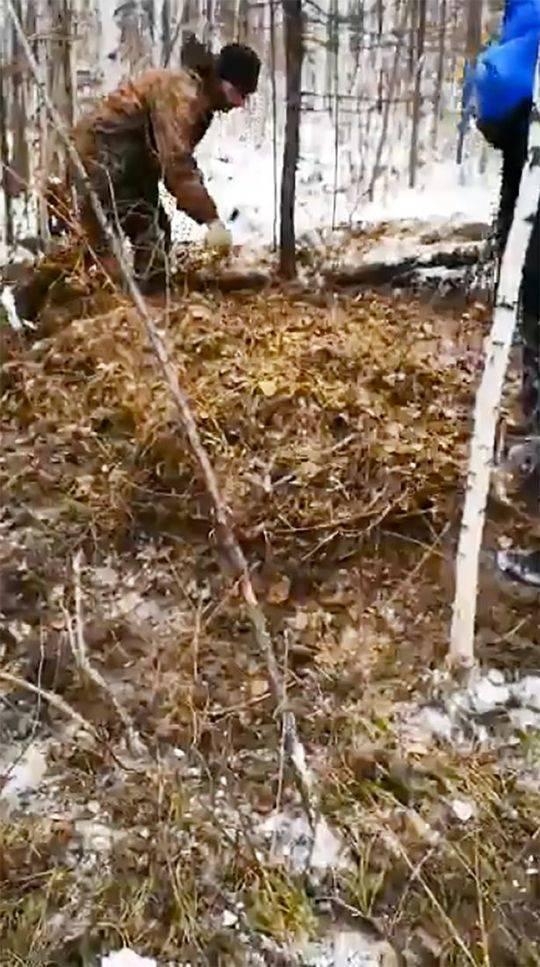 救援人员在落叶和树枝下发现了被熊埋起来的Rodion的部分肢体