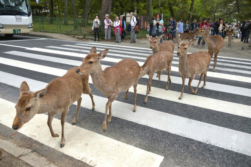 日本男子被车撞 一怒之下砍杀奈良鹿被捕