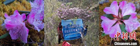 """中国科研人员发现曾被认为""""野外灭绝""""的枯鲁杜鹃图片"""