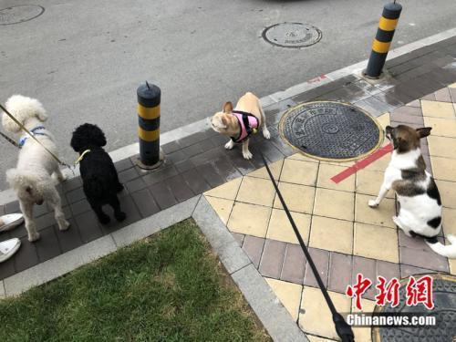 北京市朝阳区某小区,有民众外出遛狗并未拴上绳子。 冷昊阳 摄