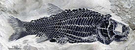 """中国科学家发现水缸里的""""清道夫""""最早祖先 距今已有2.44亿年"""
