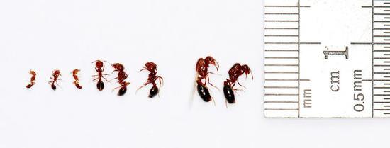 """与入侵物种""""无敌火蚁""""的战争图片"""