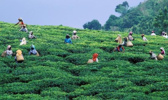 印度两座茶园200多人感染新冠 被政府划为隔离区