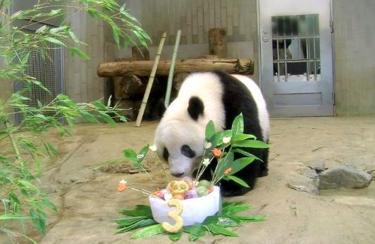曾把华春莹逗乐的大熊猫香香将回中国图片