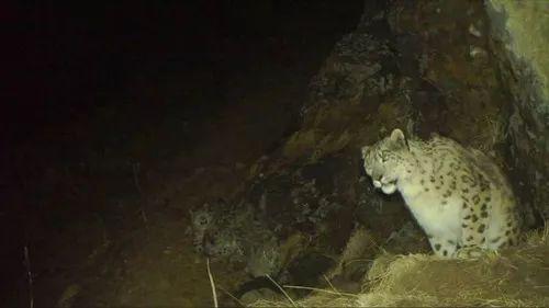 少见 四川卧龙拍到四只雪豹同框(图)