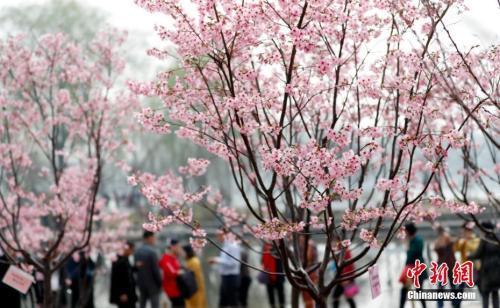 3月27日,游客在北京玉渊潭公园赏樱花。中新社记者 杜洋 摄