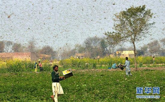 中国赴巴基斯坦灭蝗专家:现阶段