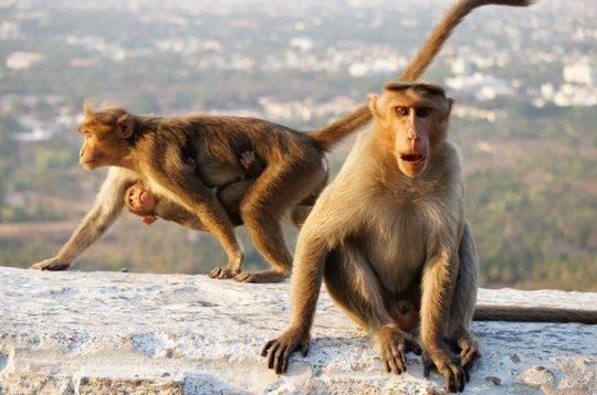 印度新生儿遭猴子从家中抓走 两天后发现溺死水井