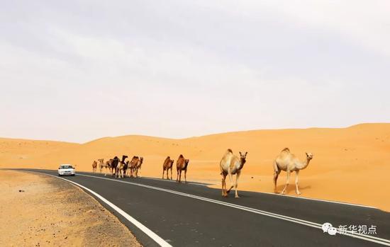 2016年5月6日拍摄的阿联酋利瓦沙漠公路上的驼队。中东地区连接着东西方文明,有着悠久的历史文化和美丽的自然风光,是古丝绸之路的重要组成部分。新华社记者李震摄