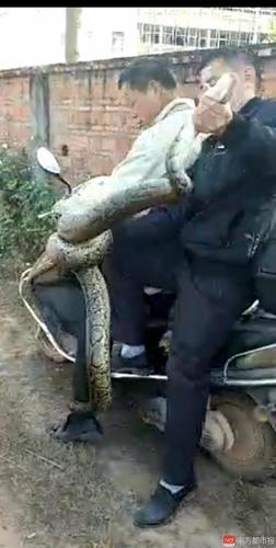 此前被捕获的大蟒蛇。南都记者郭秋成摄