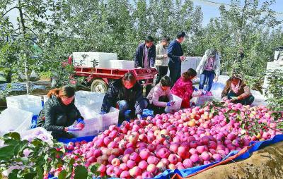 丰收时节,延安市延川县梁家河村的果农正在挑选刚刚采摘的苹果。延安市委宣传部供图