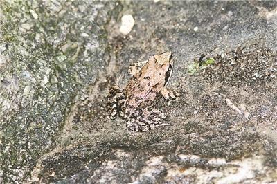 中国 林蛙