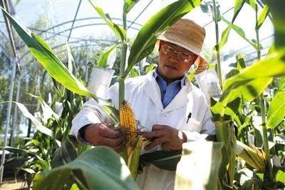▲中国农业科学院工作人员在检查抗虫玉米的抗虫害情况。图片来源:新京报