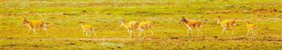 随着保护力度加大,藏羚羊活跃在可可西里。 本报记者 姜 峰摄