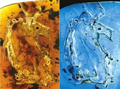 最完整琥珀古鸟被发现:封存在7厘米琥珀中