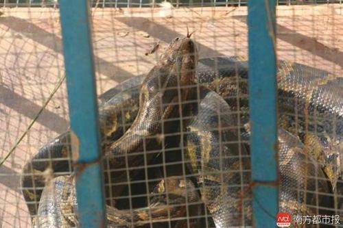 被抓的蟒蛇。南都记者郭秋成摄