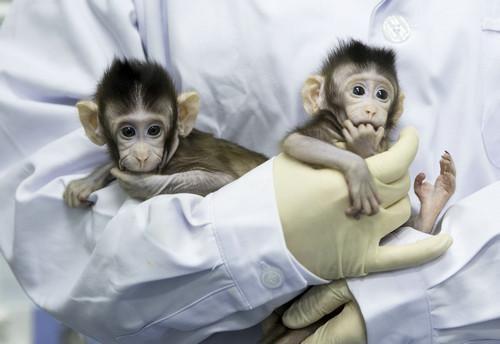 """1月22日,在中科院神经科学研究所非人灵长类平台育婴室,克隆猴""""中中""""和""""华华""""被护士抱在怀里。新华社记者 金立旺 摄"""
