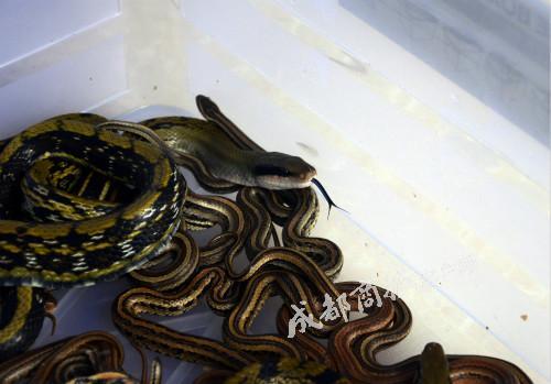 ▲劉紅飼養的表演蛇