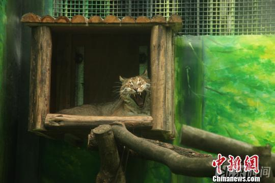 打哈哈欠的金猫,2016年11月在重庆栽物园拍摄的的正西藏亚种金猫。