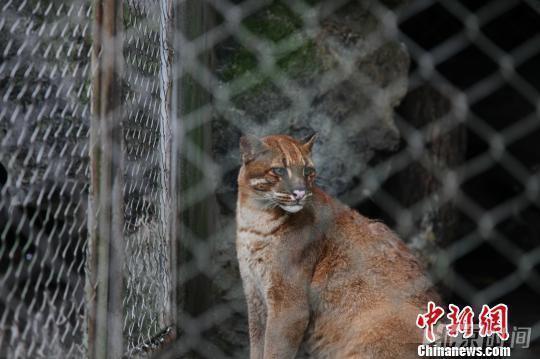 杭州栽物园的金猫为华南亚种。该亚种散布匹于中国正西北边部,和指名亚种壹样浑身单色,但体更为壮硕,颈下和腿内侧多条纹。留影师孙儿子戈于2016年7月在杭州栽物园拍摄。图片到来源见水印,下同