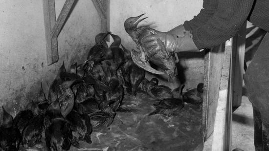 ▲英国康沃尔郡锡利群岛附近海域数以万计的海鸟死亡(图自:BBC)