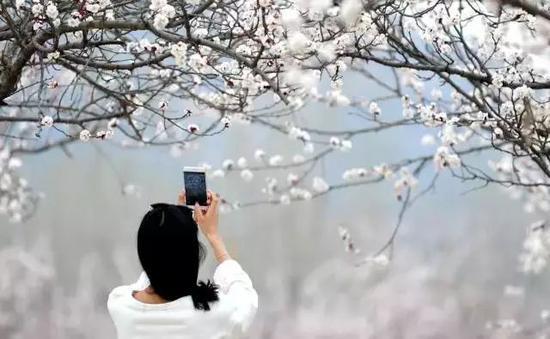 山前大道的杏花如梦似幻