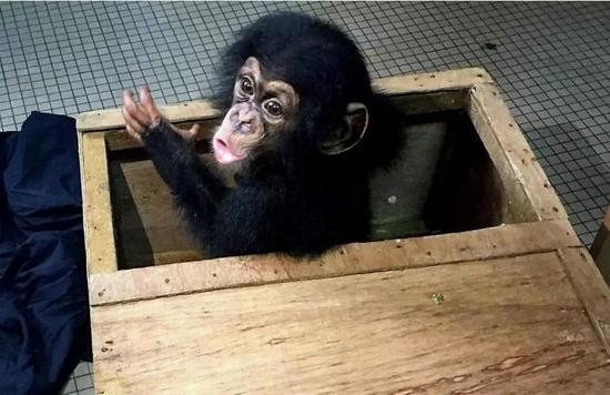 """▲从""""蓝屋""""中获救的小猩猩 图据BBC"""