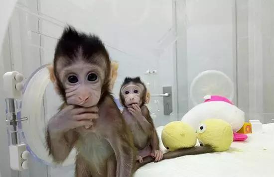 """世界首个体细胞克隆猴""""中中""""和它的妹妹""""华华""""。东方IC 图"""