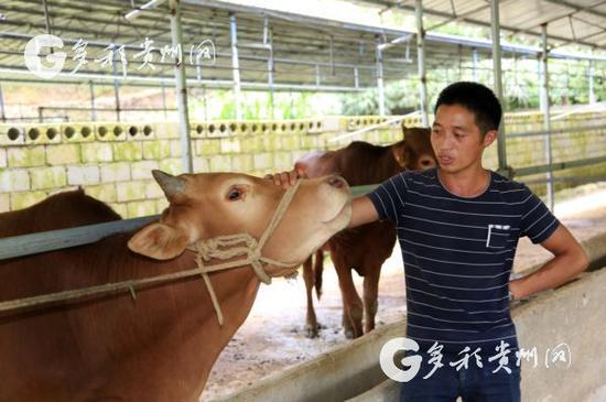 王启忠和他的牛