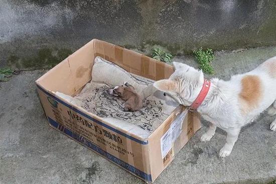 房子里有两条小狗负责看家护院,其中一条前几天刚当了妈妈。