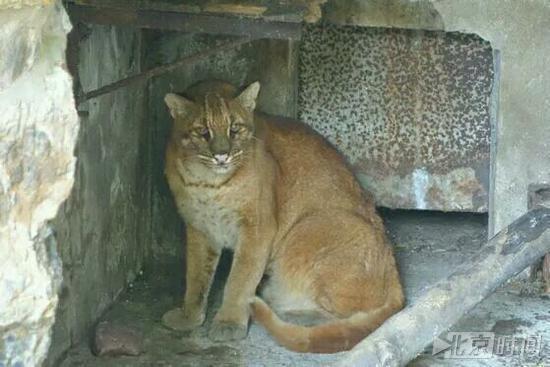杭州栽物园的华南金猫