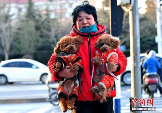 """2月11日,河北石家庄一市民为两只爱犬穿上了喜庆的""""红棉袄""""出行。中新社记者 翟羽佳 摄"""