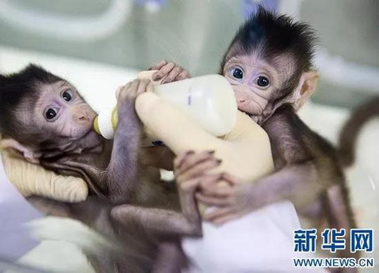 """▲克隆猴""""中中""""和""""华华""""在中科院神经科学研究所非人灵长类平台育婴室的恒温箱里得到精心照料(1月22日摄)。新华社记者 金立旺 摄"""