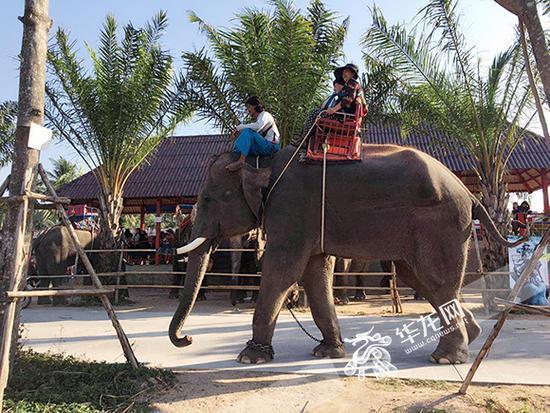 朱爸爸朱妈妈刚刚骑上肇事的大象。游客李正华供图 华龙网发