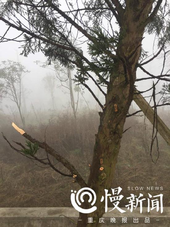 大多数树枝被人为折断。