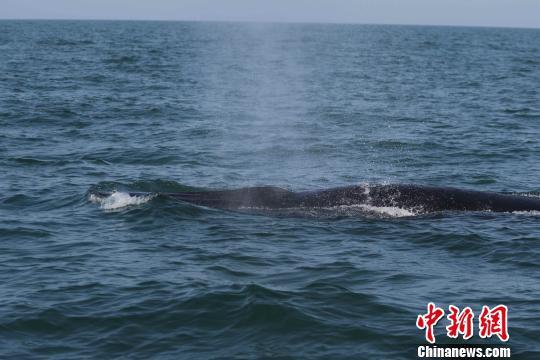 图为专家团队发现的大型鲸类生活群体。 陈炳耀 摄