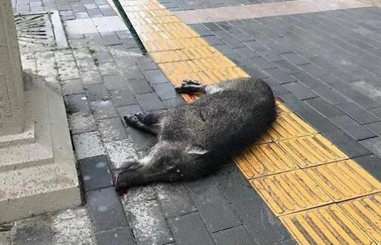 野猪尸体将交林业部门处理 西安新闻网 图