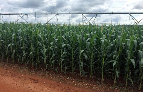 ▲当地许多农场已经不再种植甘蔗而改种谷物,图为一块玉米种植田。(路透社)