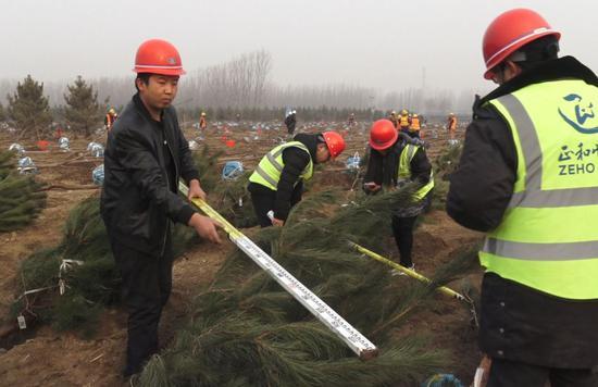 工作人员测量树木冠幅。陈安阳摄