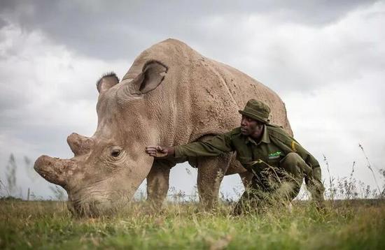 Fatu,现存的北方白犀牛之一。