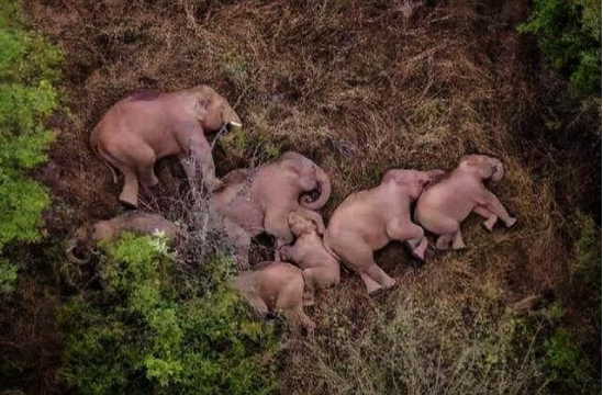 六问亚洲象北移 专家预计象群回家时间大约在冬季图片