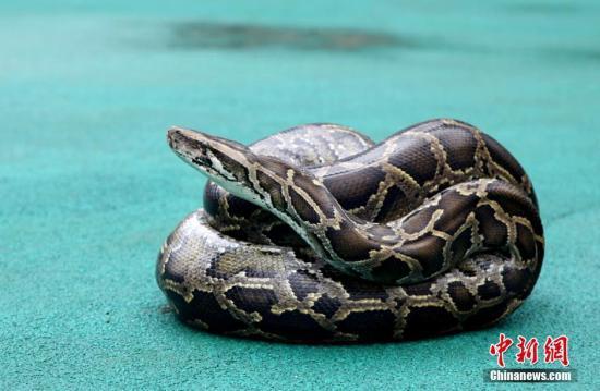 资料图片:蟒蛇。