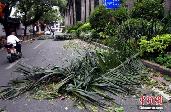 """福州市區一路段路旁綠化帶植物被被颱風""""瑪莉亞""""刮落一地。劉可耕 攝"""