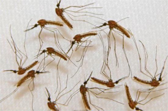 资料图片:这张美国萨纳里亚制药公司提供的未标明日期的图片显示的是,在实验室中拍摄的携带疟原虫的受感染蚊子。 新华社