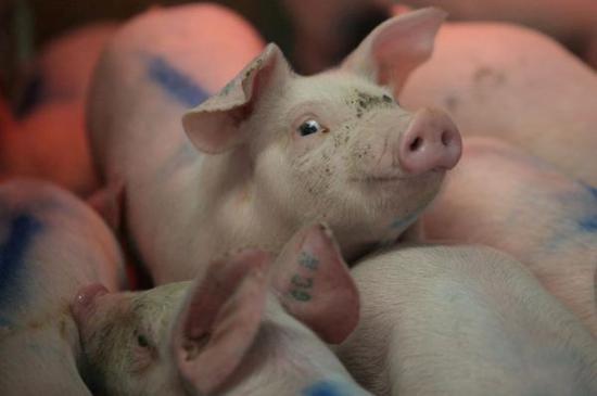 ▲美国与墨西哥贸易摩擦加剧,美国生猪养殖业可能受到影响。