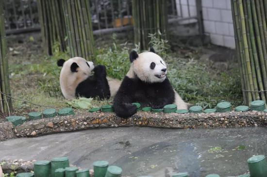 """△大熊猫""""伟伟""""和""""希望""""在一起玩耍。"""