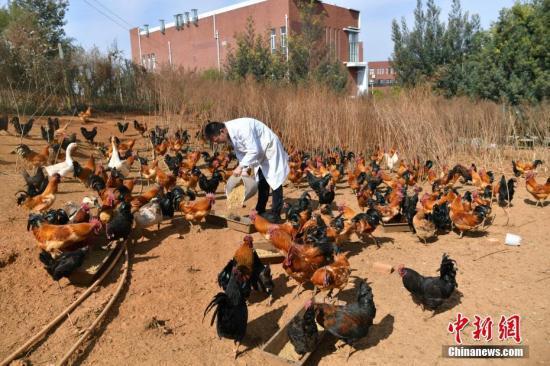 资料图:大学生在校园内养鸡,在饲料里加入降胆固醇的中草药和特制酵素,实现无抗生素养殖,受到市场欢迎。 中新社记者 任东 摄